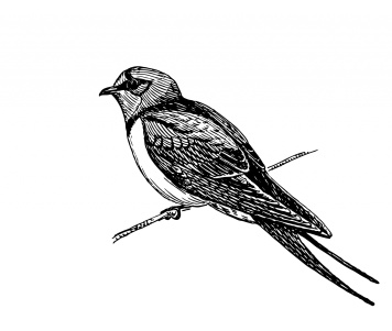 swallow-bird-illustration-clipart
